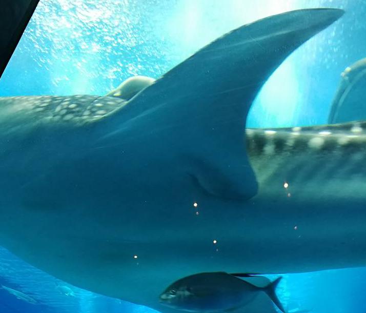 whale shark in okinawa