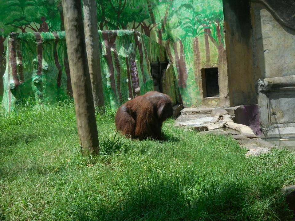 Gorilla at Bali Zoo Indonesia