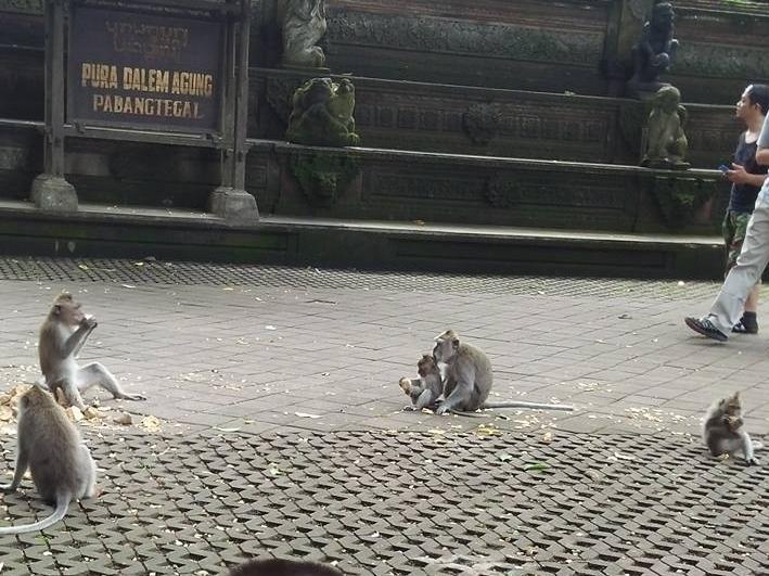 Monkeys at Ubod Forest Indonesia