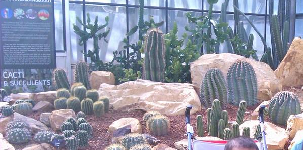 From small to giant cactuses of queen sikirit botanical garden
