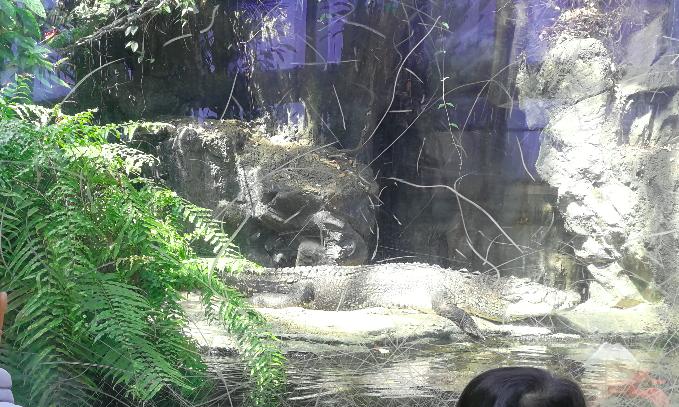 Crocodile at Ueno Zoo Japan