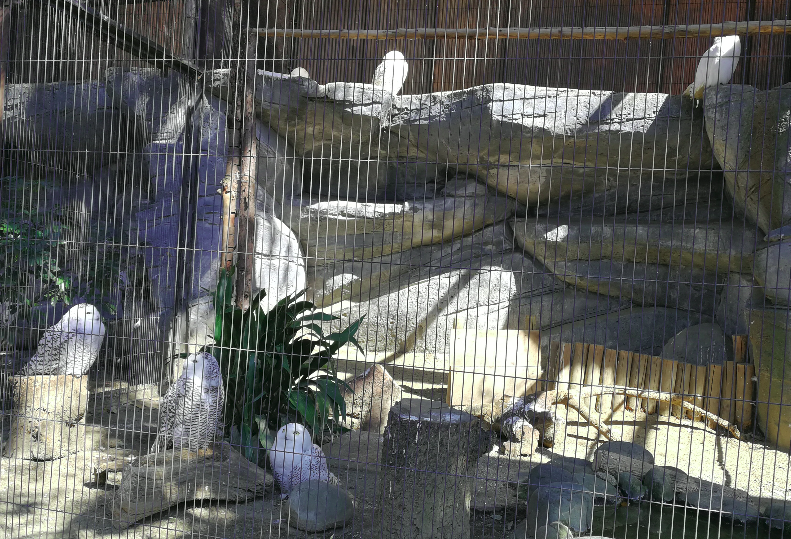 Owl From Ueno Zoo Japan