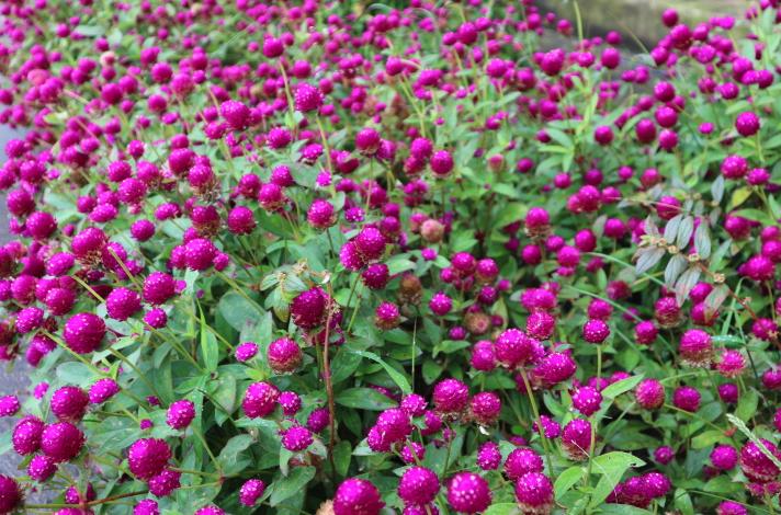 Flowers at Saint Joseph Resthouse Sagada.