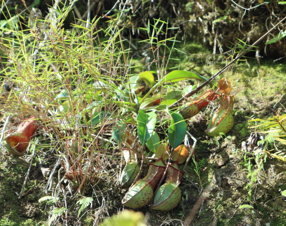 Pitcher plant we saw while walking at Hapao Rice Terraces.
