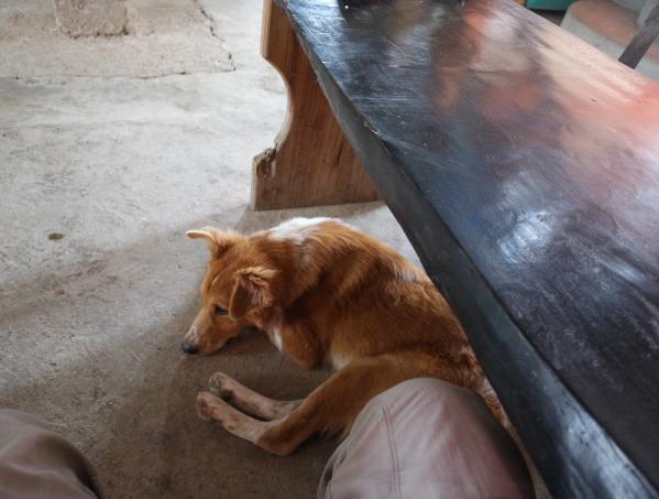 Dog at one of the restaurant at Batad Rice Terraces Banaue.