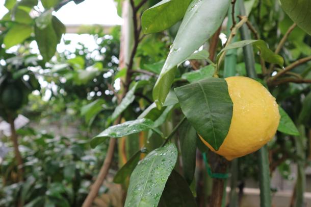 Grapefruit at Niigata Botanical Garden.