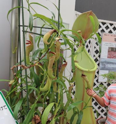Pitcher plant growing at Niigata Botanical Garden.