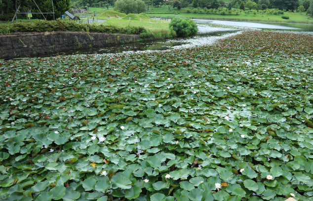 Lotus plant in a water lake like at Botanical Niigata Garden.