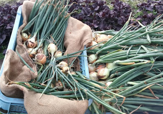 The moment that we harvested the onion from our garden.