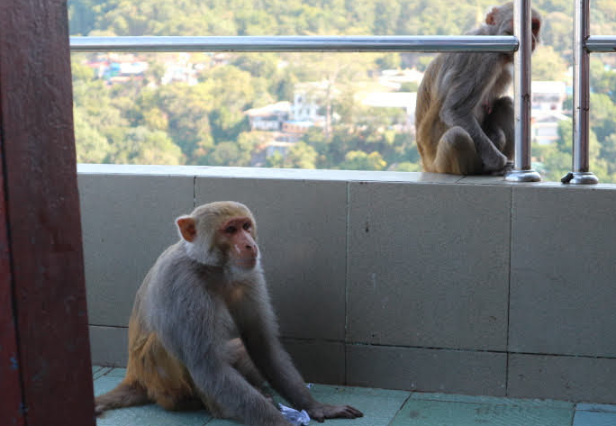 The monkeys of Mount Popa.
