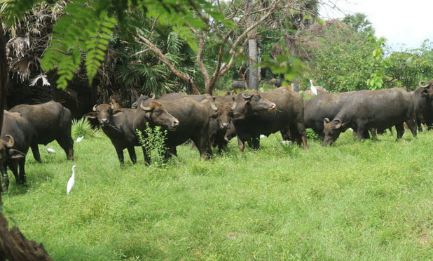 THe carabaos pasturing at the bathing place.