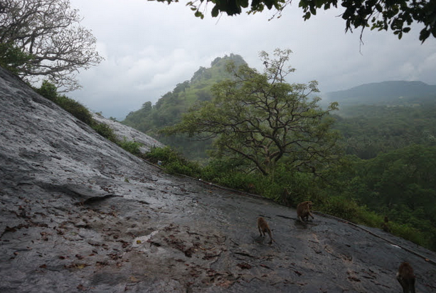 Wild monkeys of Dambulla.