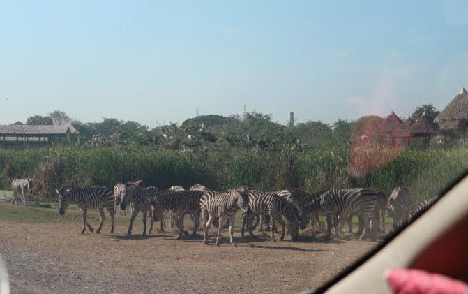 The zebras at Safari world Thailand.
