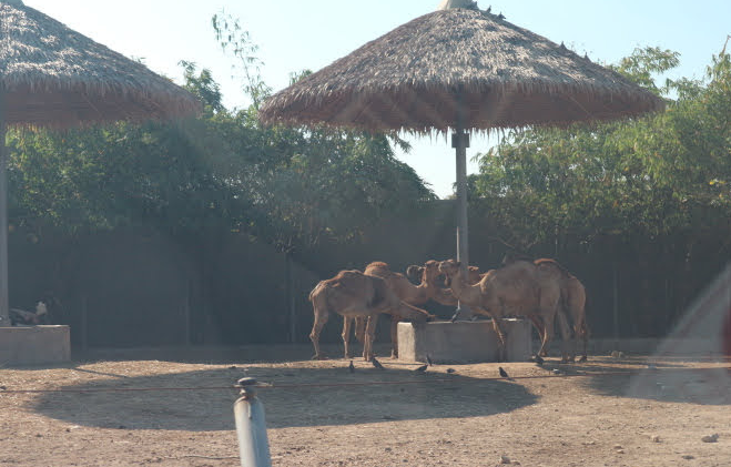 The camels of Safari World.