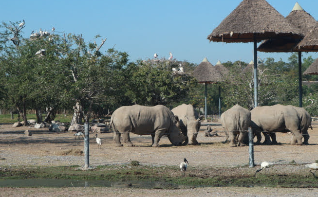 We have seen a group of Rhinoceros of Safari World.