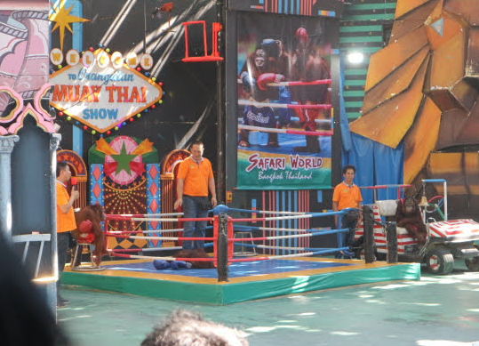 The boxing orangutan show of Safari Thailand.