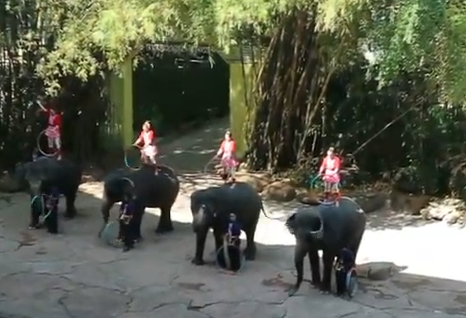The segment of elephant show dencing with its respective cheer leader.