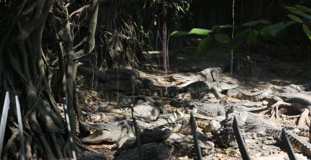 The alligator of Safari World Thailand.