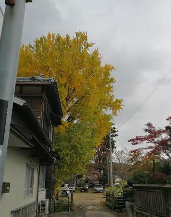 Eye cathing yellow tree outside the Yahiko Park.