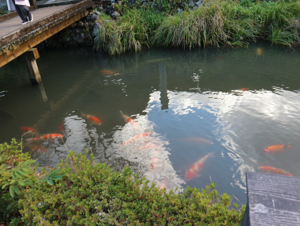 The fish at the Asakura Residencce.